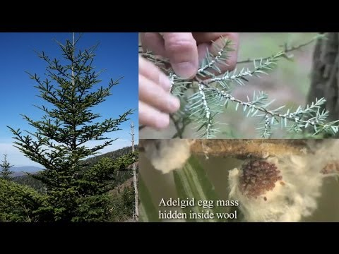 An invasive bug may drive America's favorite wild Christmas trees to extinction