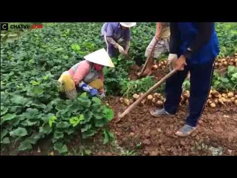 Thì ra đây là cách người ta thu hoạch củ sắn