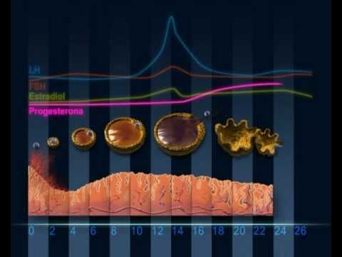 Mecanismo de ovulación