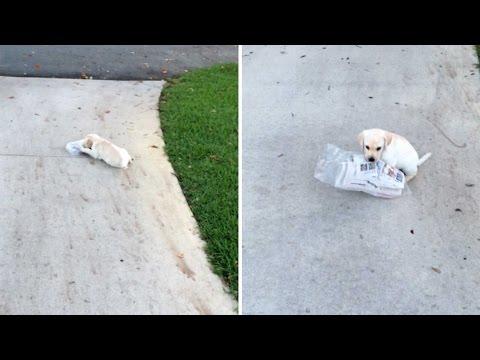 新聞を運ぼうと頑張る子犬が超絶カワイイ!