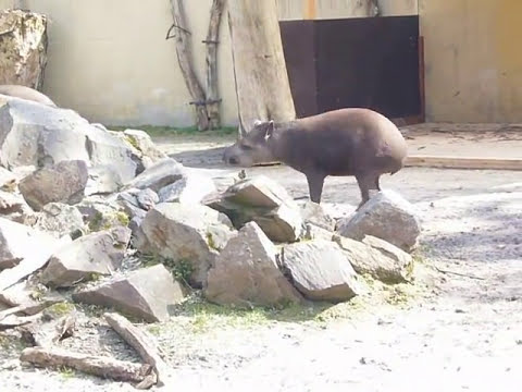 Attack of a little crazy Tapir
