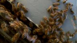 PBS Nature - Silence of the Bees
