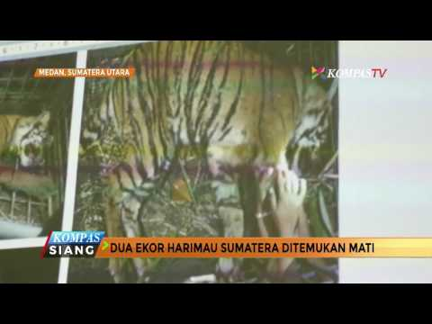 2 Ekor Harimau Sumatera Ditemukan Mati di Sumatera Utara