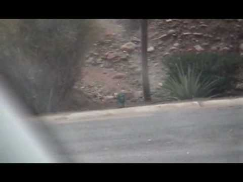 A wild  javelina (pig) seen by the road on the Apache Trail