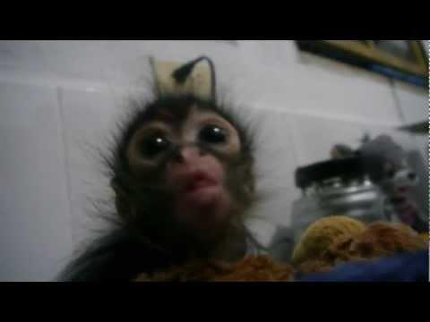 Bébi majom etetés - Baby Monkey Feeding Time