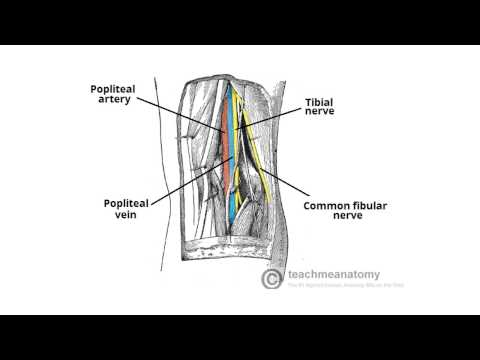 Anatomy of Popliteal Fossa Popliteal Fossa Youtube