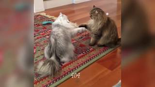 Funny cats complation 6