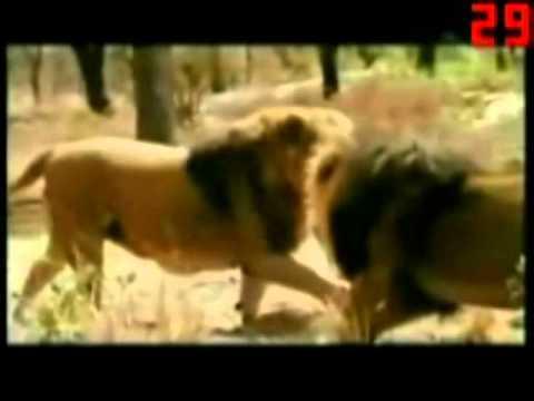 Một số tập tính lãnh thổ của động vật.