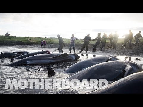The Grind: Whaling in the Faroe Islands