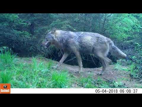 Wolf in Drenthe - 4 mei 2018