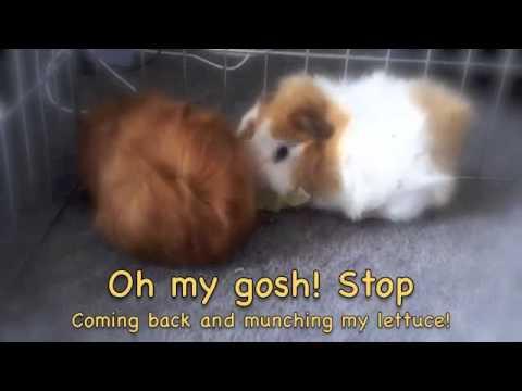 My Cute Guinea Pigs Short Movie