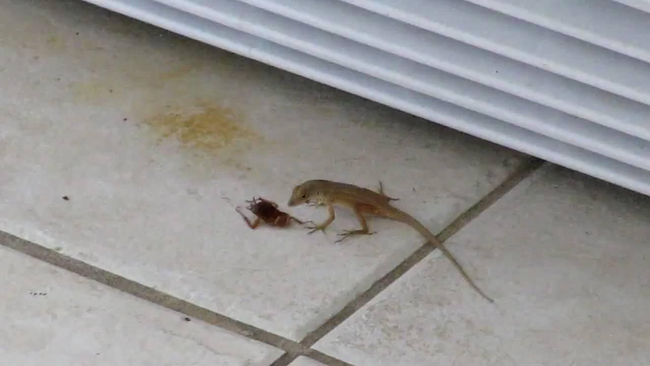 Lizards Eat Roaches Natural Roach Killer Lizard