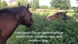 Ter adoptie van Stichting Paard in Nood: Rocky!
