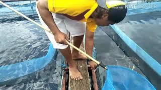 Mancing ikan Liar di sela sela keramba pakai karet ban bekas