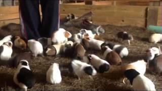 Massive Herd of Crazed Guinea Pigs!