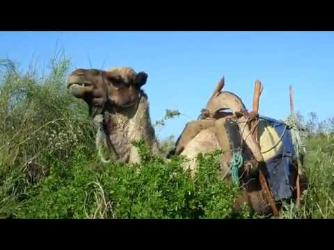 Camel in Morocco