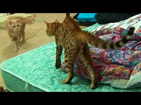 Bengal Kitten Introduction To Adult Cats - Part 1 video