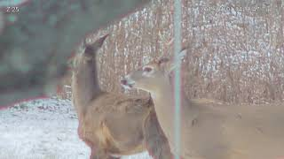 2018-01-01 - Deer with deformed jaw
