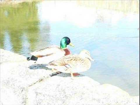Yeşil Ördek gibi, Almanca