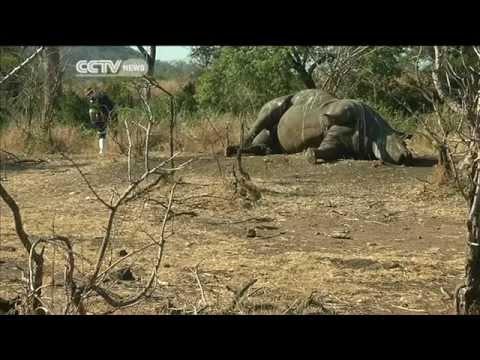 World Rhino Day: SA Rhino Population Dwindling Due to Poaching
