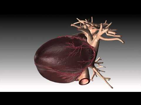 Human Heart Beat Animation-3d Animation- Multimedia Portfolio