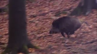 Driven wild boar hunting in Europe | Every hunter's dream! - Hunting Unlimited