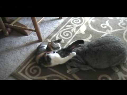 FLEMISH GIANT RABBIT HIPPY Video