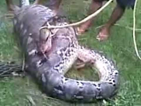 snake eat cow in south sulawesi (INdonesia)