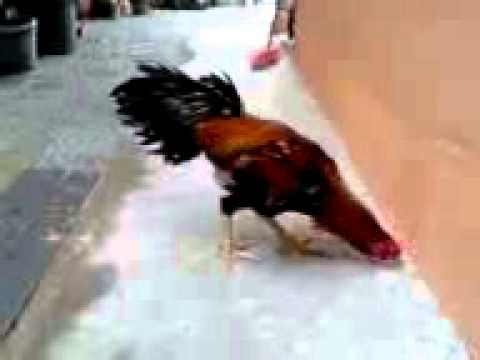 Ayam Laga TerbaikQaib Thai