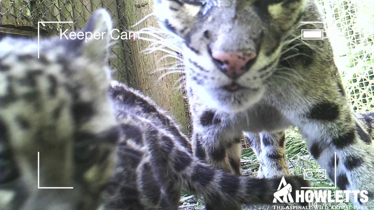 Clouded leopard cubs in the wild