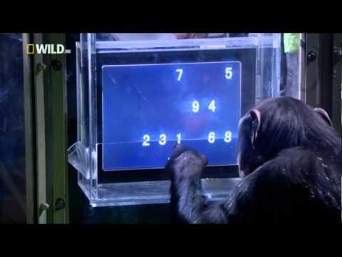 Шимпанзе побеждает человека в тесте на память