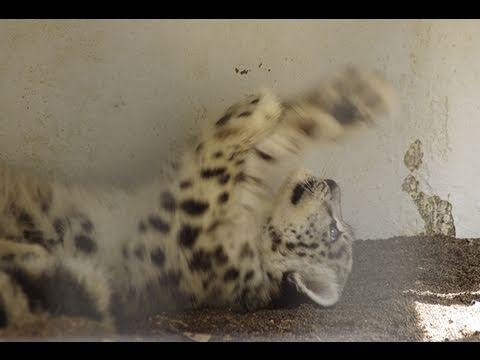 猫みたいにかわいいユキヒョウの赤ちゃん~Snow Leopard Baby so cute