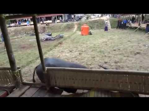 Toraja, Sulawesi - Buffalo Killing, Part 2