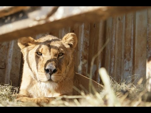 Gyumri Zoo Lions Transfer To The Caucasus Wildlife Refuge