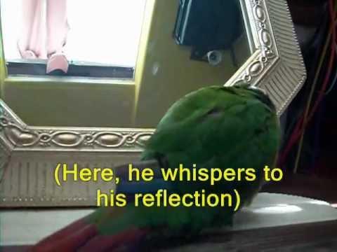 green cheek conure parrot talking tricks funny behavior
