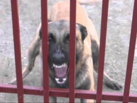MALINOIS-GRIGOR Aggressive protection of property (part 1)