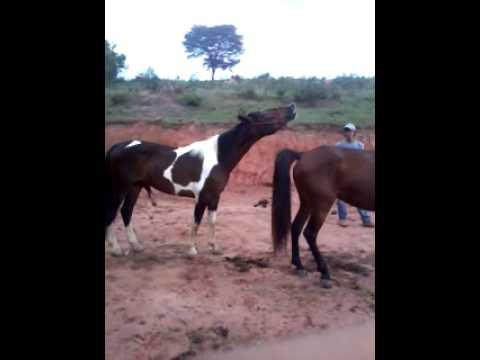 Cavalo pampa cruzando uma egua Manga Larga registrada