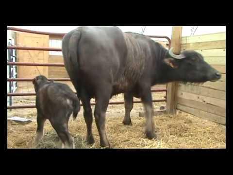 Mother Water Buffalo & Her Newborn Calf