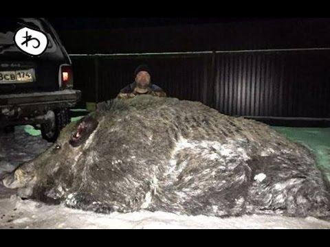 クマよりでかいかも!ロシアで体重535キロの巨大イノシシが捕獲される
