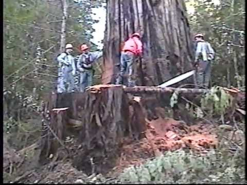 Falling Old Growth Redwood.  Humboldt County CA 2002