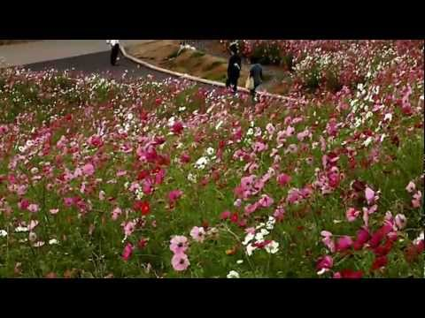 Beautiful Cosmos Flower Field - Ibaraki, Japan