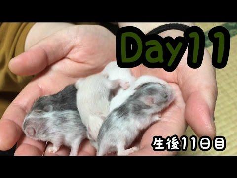 【生後11日目】ハムスターの赤ちゃん レツ hamsters babies Day11