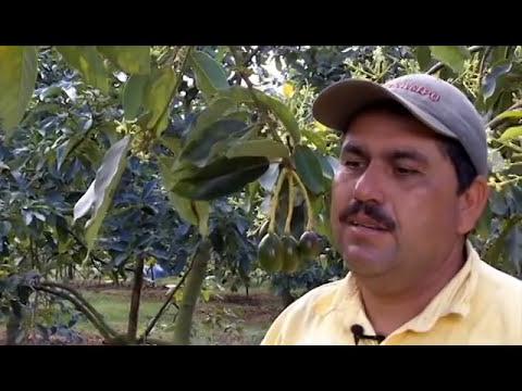 Cómo manejo mi cultivo de aguacate en Lebrija, Santander.avi