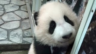 video One of twins panda babies, Touhin, born 2014 December at the Adventure World in Shirahama, Wakayama, Japan. Date : April 14th., 2015 赤ちゃんパンダ、桃浜です。2015年4月...