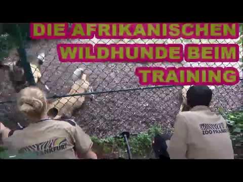 Medizinisches Training für die Afrikanischen Wildhunde