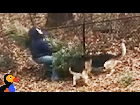 Dogs Don't Want Dad To Throw Away Christmas Tree  | The Dodo