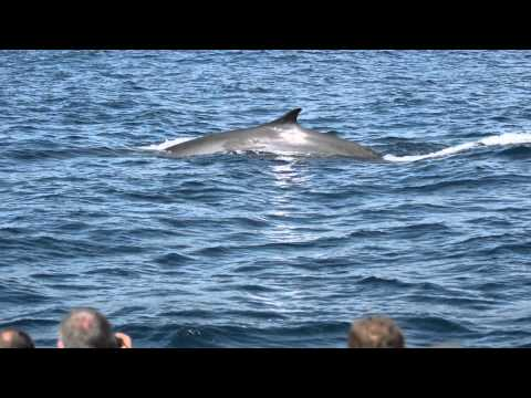 Fin Whales in São Miguel Azores - Futurismo Azores Whale Watching