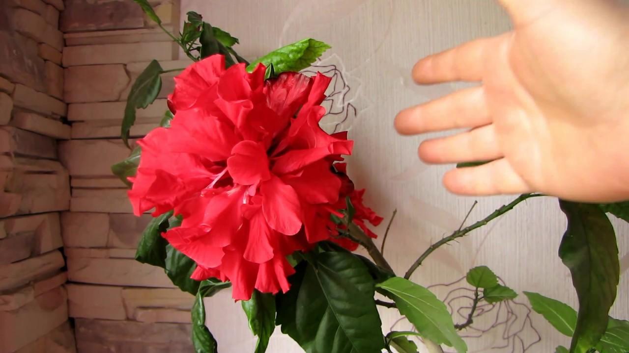 Китайский роза как ухаживать за ней в домашних условиях 763