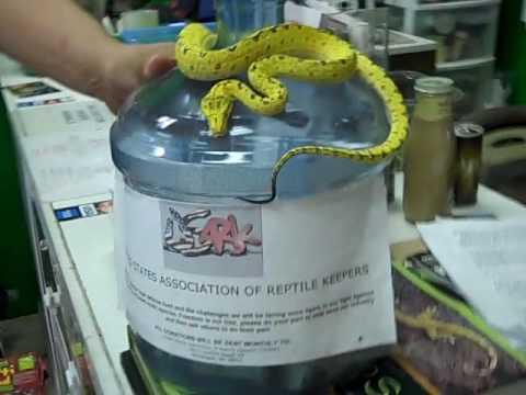 Biak Green Tree Python- Reptile Addictions Store Tour!