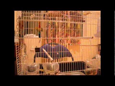 Cel mai tare dans al unui papagal mori de ras, camera de ras 2011